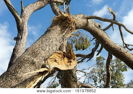 Storm Damage - Detail of a maritime pine tree broken by a strong wind
