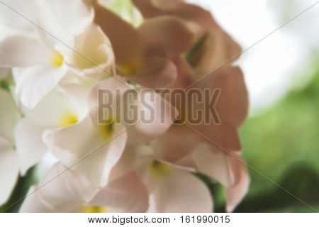 blurred picture of beautiful Plumeria Vintage Tone on the plumeria tree