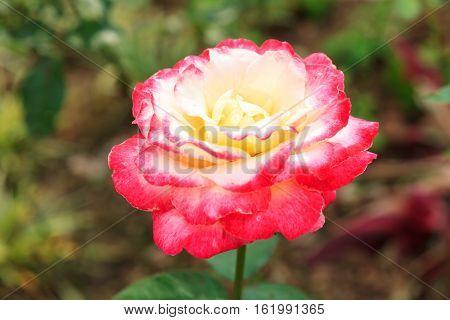 Pink White Rose Close Up