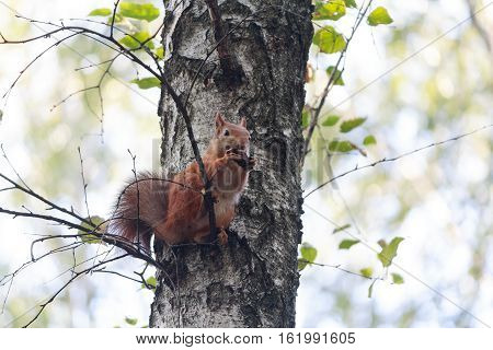 Red squirrel sitting on the tree eating a walnut. Animals