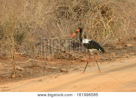 Saddle-Billed stork walking across a road in Kruger National Park in South Africa
