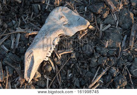 White Teeth animal skull on the ground