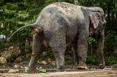 Elephant ass while defecation Elephant thailand . poster