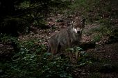 Timber Wolf Walking in Forest poster