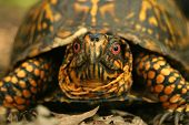 a close-up of a box turtle. ** Note: Shallow depth of field poster