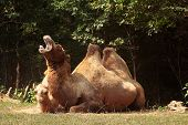 a camel couple, the big one yawning. poster