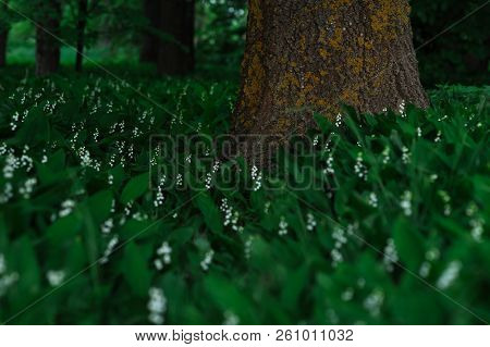 Glade With Lilies Of The Valley. Many Lilies Of The Valley Are Blossoming Near The Tree. Flowers In