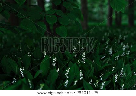 Blooming Lilies Of The Valley In The Evening Forest. The Lime Branch Bent Over The Lilies Of The Val