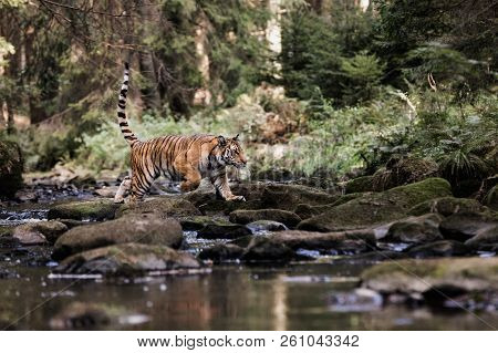 Tiger In The River Runs Behind The Prey In Water. Hunt The Prey In Tajga In Hot Summer Day. Tiger In