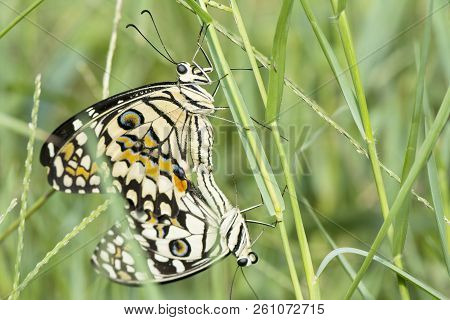 Butterfly Couple Mating In Nature, Beautiful Butterflies Intercourse Pairing On Green Grass Leaves,
