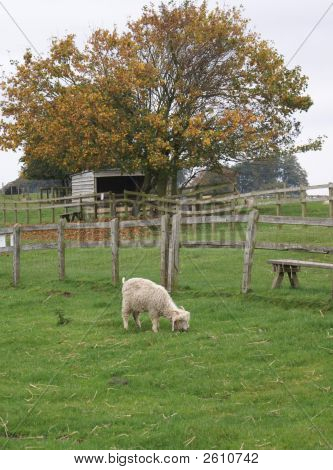 Young sheep in a field. Farm animal eating grass in a field/farm. Nutrition. Wool. poster