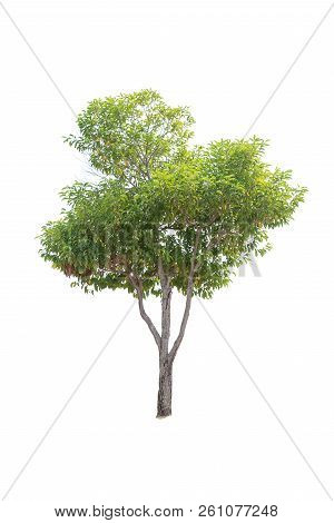 Closeup  Bullet Wood (mimusops Elengi Linn) Tree Isolated On White Background