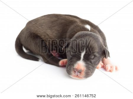 Closeup Cute New Born Puppy Black Color Isolated On White Background, Pet Health Care Concept, Selec