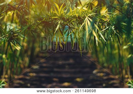 Growing Organic Hemp On Plantation, Conceptual Image