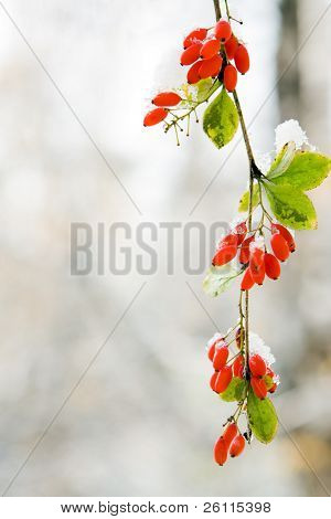 branch red berry with leaf autumn in snow