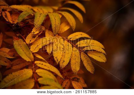 Photo Of Autumn Leaves On A Tree. Golden Autumn. Bright Red, Yellow, Orange Background.