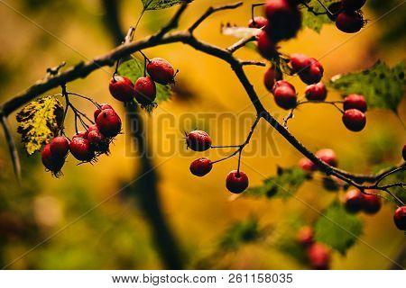 Photo Of Autumn Berries On Tree. Golden Autumn