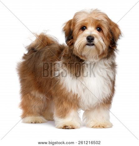 Cute Red Parti Colored Havanese Puppy Dog Is Standing And Looking At Camera, Isolated On White Backg
