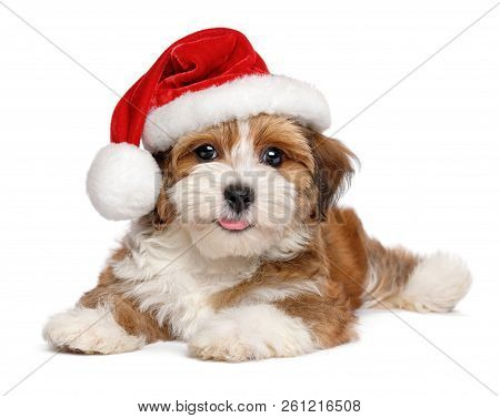 Happy Smiling Bichon Havanese Puppy Dog Is Wearing A Christmas Santa Hat - Isolated On White Backgro