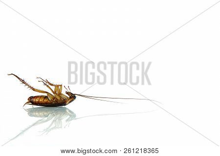 Dead Cockroach On White Table With Reflection.contagion The Disease, Animal,plague,healthy,home Conc