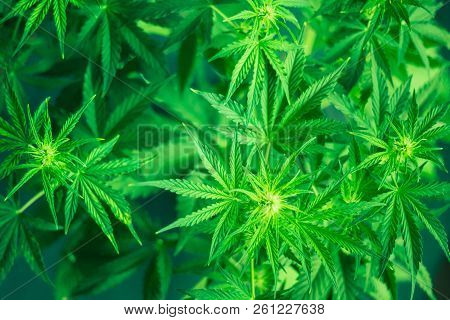 Green Background. Marijuana Leaves. Marihuana Plants Close Up. Growing Indoor Cultivation. Cannabis