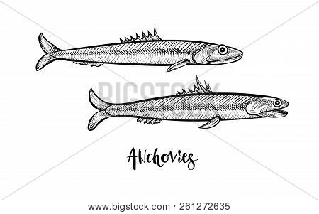 Anchovies Hand Drawn Vector Illustration. Black Line Sketch.