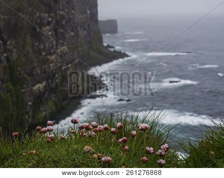 Sea Pink Flower Armeria Maritima With View On Beautiful Latrabjarg Cliffs, Europe's Largest Bird Cli