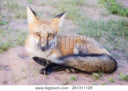 Beautiful And Friendly Red Fox Sitting On The Side Of The Road