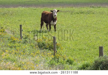 A Single Cattle Grazing In The Field