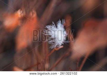 A White, Downy Feather Caught In The Russet Branches Of A Bush In Winter.