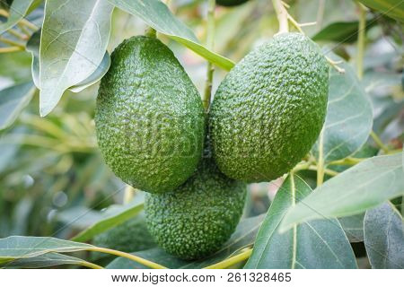 Avocado Fruits Hanging On Branch Of Tree,