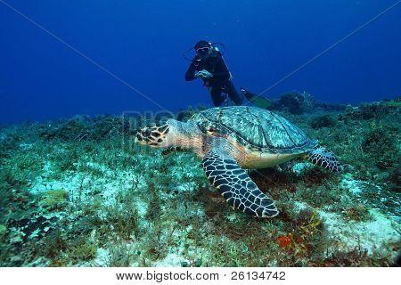 Hawksbill Turtle and Scuba Diver