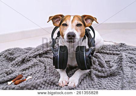 Adorable Jack Russell Dog Lies In Wireless Headphones On Cozy Blanket. Dog Is Afraid Of Loud Noises