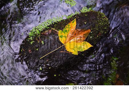 Fallen Maple Leaf In Stream. Cold Water Is Running Over Dark Boulders And Bubbles Create On Level Mi