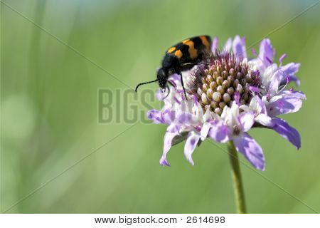 Macro mylabris variabilis beetle on blue scabiosa flower poster