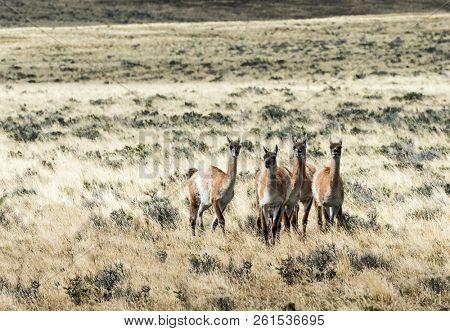 Five curious guanaco lamas (Lama guanicoe) in the endless grass pampas of Argentina