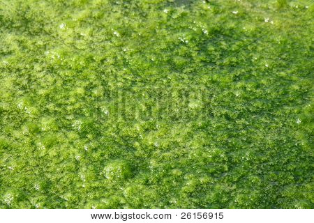 Green Pond Scum for background or wallpaper