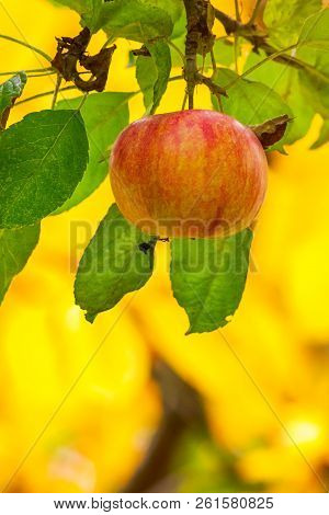 Late Season Apple Varieties. Sweet Ripe Fruit On The Branch. Yellow Background Of Blurred Foliage In