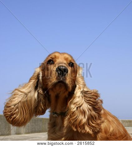 Cocker Spaniel In Blue Sky