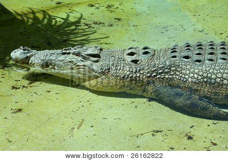 Saltwater Crocodile at Rest