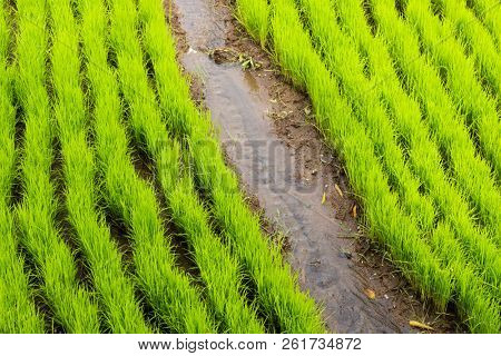Young rice plants growing in the terrace fields in Bali island