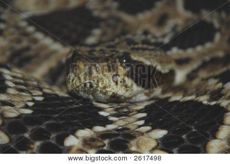 Hybrid Rattlesnake