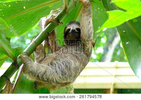 Young Sloth Standing On A Tree Close To A Little House In Puerto Viejo, Costa Rica.