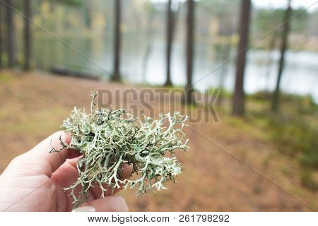 Moss In The Northern Forest.  A Piece Of Moss In Hand. Natural Background