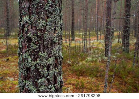 Moss In The Northern Forest. The Pine Trunk Is Overgrown With Moss. Natural Background