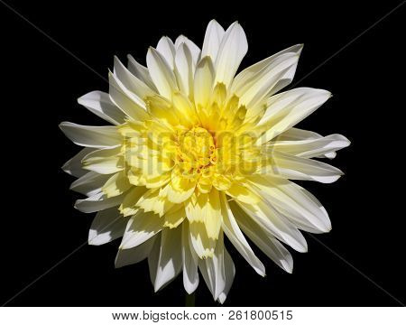 Closeup Of A Yellow White Dahlia Flower - Black Backgroune - Sunny Bright Look And Feel