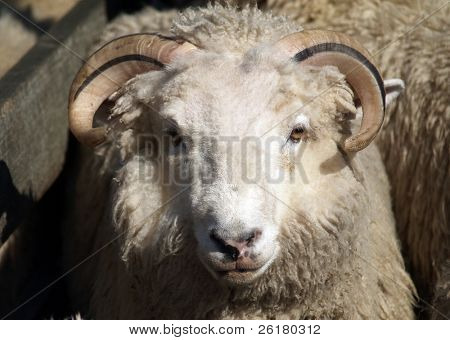 A white sheep with horns that have a black stripe