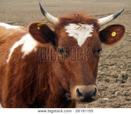 Ayrshire Heifer with Horns looking at the camera