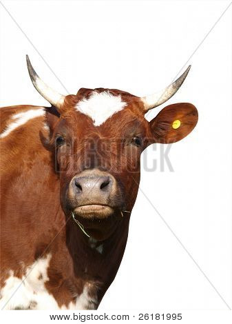 Ayrshire Cow isolated with clipping path
