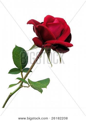 Red Rose isolated with clipping path